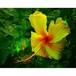 沖縄に咲く花・14・ハイビスカス