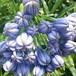 八重咲きアガパンサス12cmポット苗