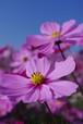 【PHOTO】青空に咲くコスモス