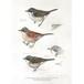 アート ポスター A4 サイズ KOUSTRUP & CO. - Sketches of the birds 小鳥のスケッチ