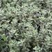 シルバータイム Thymus vulgaris aregenteus