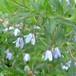 オーストラリアンブルーベル Sollya Heterophylla