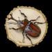 【原画】輪切り絵アート:国産カブトムシ Ver1.6 (Rhinoceros beetle)