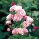 バラ裸苗【ご予約商品】 群舞(ぐんまい)(トゲナシつるバラ)