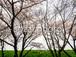 写真素材(桜-4025999)