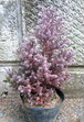 ヌマヒノキ【レッドスター(パープルフェザー)】樹高約40~50cm