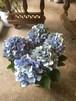 鬼木園芸さんの秋色アジサイ5寸鉢*ブルー
