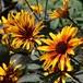 宿根ヒメヒマワリ バーニングハート  Heliopsis helianthoides var. scabra 'Burning Hearts'
