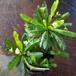 ネムノキ・ハワイアン10.5cmポット苗