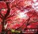 京の琴2「童謡」京都高級料亭に流れる琴のように