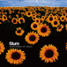 [デジタルダウンロード] Slum / 2nd Album / Sunflowers of Today