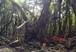 ガジュマルの精霊 キジムナー(縁起の良い奇跡の開運写真  ガジュマルの樹に精霊が宿っています)