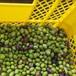 【実験・オリーブオイルをつくってみよう】オリーブの実 ルッカ 1kg【販売終了】