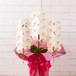 胡蝶蘭 白花 3本立 大阪市内無料配送エリアあり 祝い花