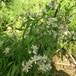 ロサ ムルティフローラ ワトソニアナ Rosa multiflora watsoniana