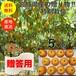【送料無料】【宮城県産】【贈答品】【予約販売】産地直送 ブランド和梨「幸水」5kg/箱