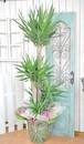 I0045) 開業祝い観葉植物 ユッカ