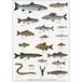 アート ポスター A4 サイズ KOUSTRUP & CO. - Fishes of the Lake and River 淡水魚とザリガニ