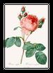 バラのポストカード