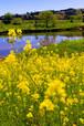 菜の花の咲く景色