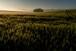 A Wheat Hill 2017