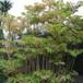 斑入り中国タラの木・チャンチン10.5cmポット苗