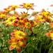 ビデンス ブレイジンググローリー Bidens ferulifolia Blazing Glory