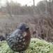 Bengt Wall 小鳥 ④
