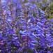 ペンステモン エレクトリックブルー  Penstemon heterophyllus 'Electric Blue'