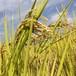 自然栽培 玄米(5.0kg)