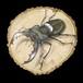 【原画】輪切り絵アート:ミヤマクワガタ レッドアイ (Lucanus maculifemoratus) Ver1.5