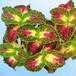 コリウス カミナガヒメ10.5cmポット苗