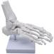 足間接模型 足骨模型 右足 足首 稼動タイプ 学習用 教材 標本