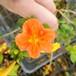 オレンジ・マーマレード10.5cmポット苗
