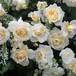 バラ裸苗 【ご予約商品】 マルク・アントン・シャルポンティエ