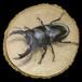【原画】輪切り絵アート:オオクワガタ Ver2.2 (Dorcus hopei binodulosus)