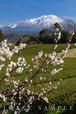 大山と梅と茶畑