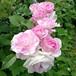 ブリリアント ピンク アイスバーグ Brilliant Pink Iceberg