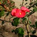 トゲなし花キリン9cmポット苗