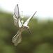 Hummingbird wings up  (M-clear)