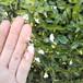 ブライダルベール10.5cmポット苗