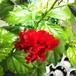 八重咲きハイビスカス10.5cmポット苗