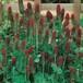 クリムソンクローバー Trifolium incarnatum