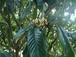 無農薬栽培 ビワの葉 15枚※ビワ葉酒レシピつき