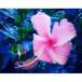 沖縄に咲く花・15・ハイビスカス