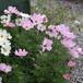 産直花の苗 矮性コスモス Cosmos bipinnatus 'Dwarf'