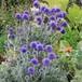 瑠璃玉アザミ Echinops ritro