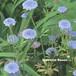 ブルー レースフラワー Trachymene caerulea
