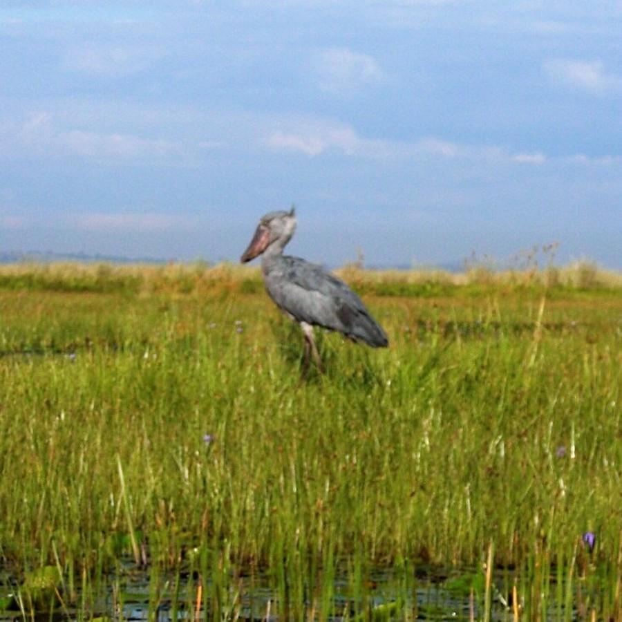 ヴィクトリア湖岸のマバンバ湿地でハシビロコウは観察できます。