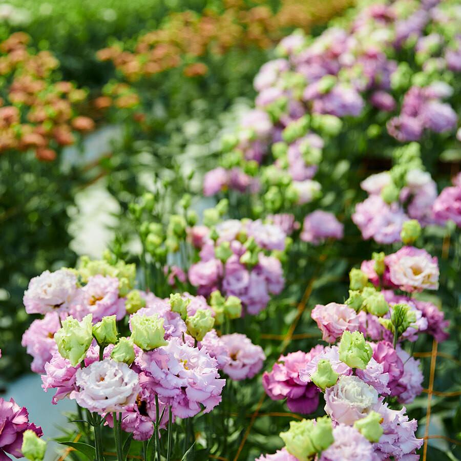 花き栽培も手掛ける『土っ子田島ファーム』のメインの栽培は色とりどりのトルコキキョウ。